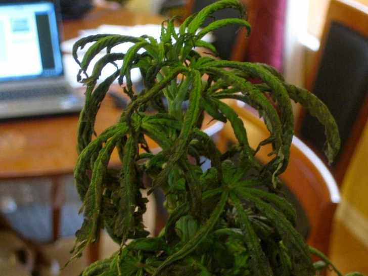 Good Why Is My Whole Plant Wilting, Curling, With Tips Turning Black And My House Plant Is Wilting Image