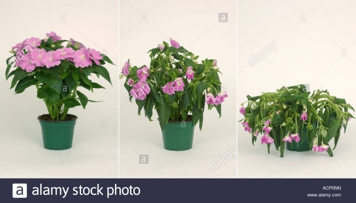 Gorgeous Comparison Showing A Stages In The Wilting Collapse Of A Potted My House Plant Is Wilting Image