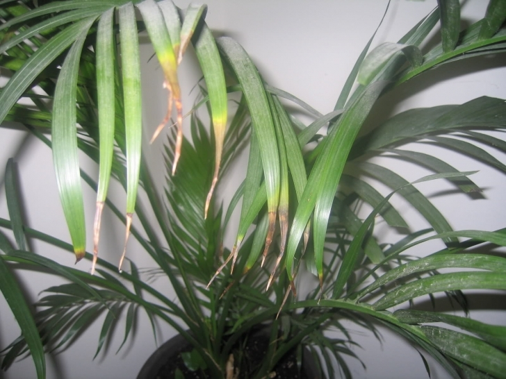 Interesting The Biggest Contribution Of Indoor Plant Leaves Turning Yellow To My House Plant Leaves Are Turning Yellow Photo